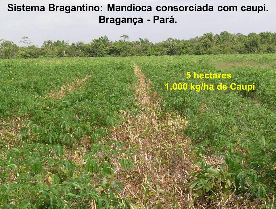 Sistema Bragantino: Mandioca consorciada com caupi. Bragança - Pará. 5 hectares 1.000 kg/ha de Caupi