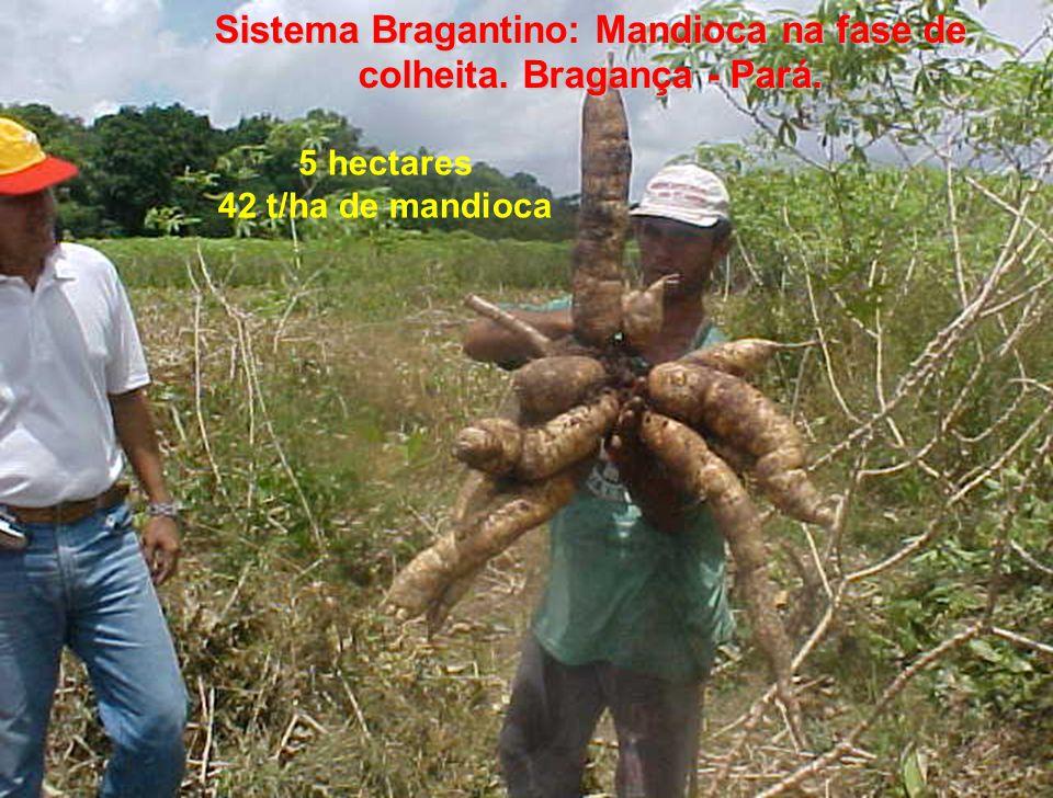 Sistema Bragantino: Mandioca na fase de colheita. Bragança - Pará. 5 hectares 42 t/ha de mandioca