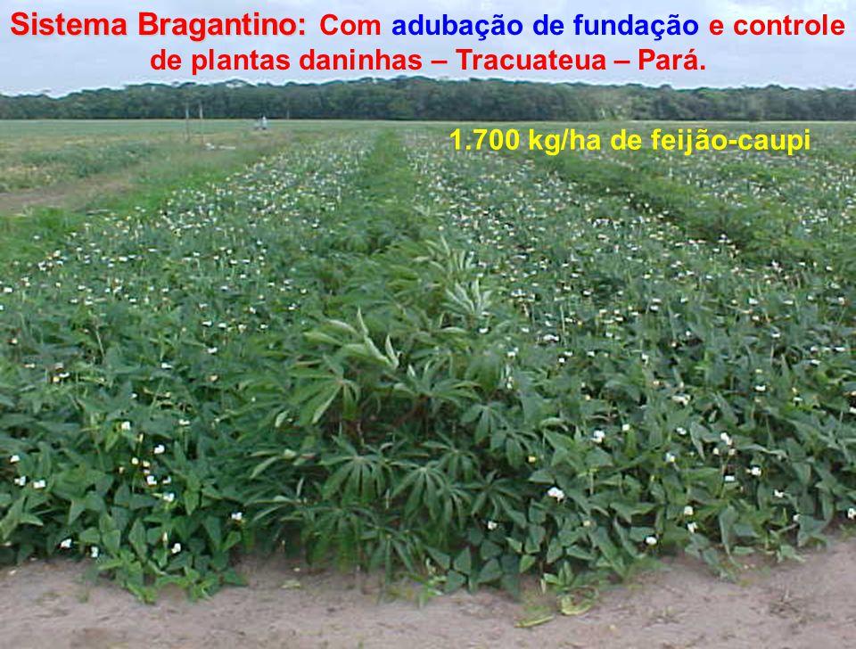 Sistema Bragantino: Sistema Bragantino: Com adubação de fundação e controle de plantas daninhas – Tracuateua – Pará. 1.700 kg/ha de feijão-caupi