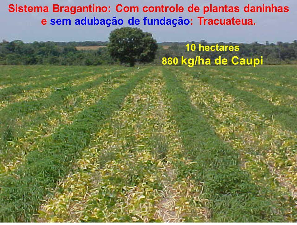 Sistema Bragantino: Com controle de plantas daninhas e sem adubação de fundação: Tracuateua. 10 hectares 880 kg/ha de Caupi
