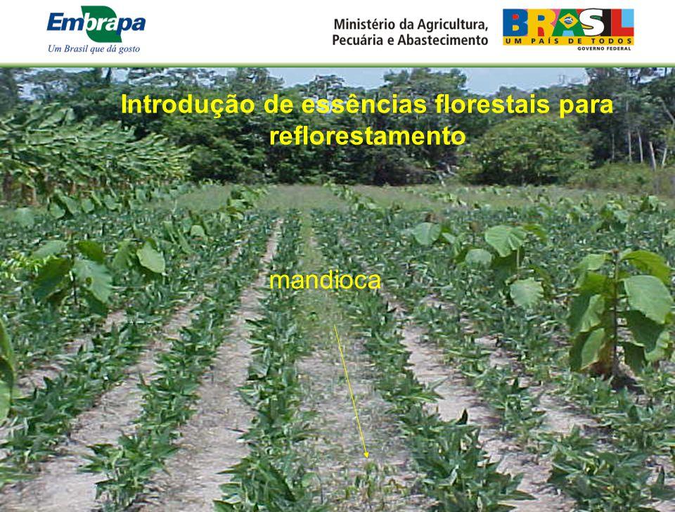 Introdução de essências florestais para reflorestamento mandioca