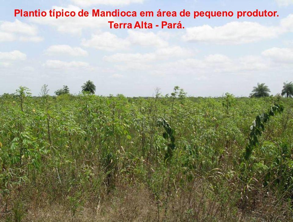 Plantio típico de Mandioca em área de pequeno produtor. Terra Alta - Pará.