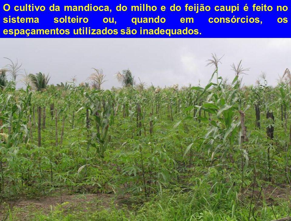 O cultivo da mandioca, do milho e do feijão caupi é feito no sistema solteiro ou, quando em consórcios, os espaçamentos utilizados são inadequados.