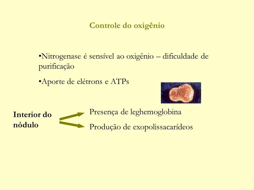 Controle do oxigênio Nitrogenase é sensível ao oxigênio – dificuldade de purificação Aporte de elétrons e ATPs Presença de leghemoglobina Produção de exopolissacarídeos Interior do nódulo