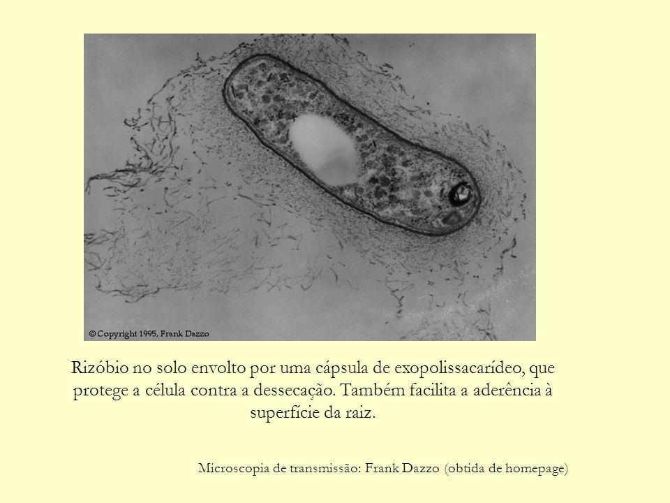 Rizóbio no solo envolto por uma cápsula de exopolissacarídeo, que protege a célula contra a dessecação.