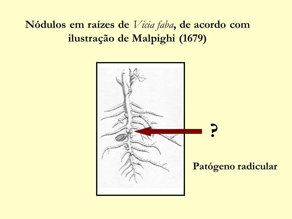 Nódulos em raízes de Vicia faba, de acordo com ilustração de Malpighi (1679) Patógeno radicular ?