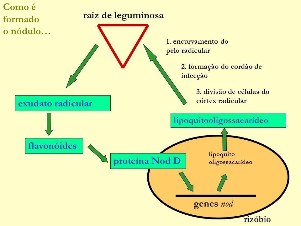 genes nod lipoquito oligossacarídeo proteína Nod D rizóbio lipoquitooligossacarídeo 1.
