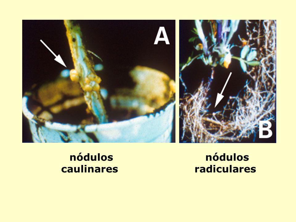 nódulos caulinares nódulos radiculares