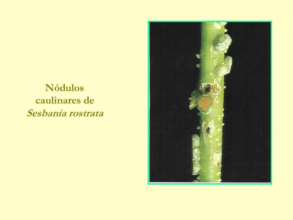 Nódulos caulinares de Sesbania rostrata