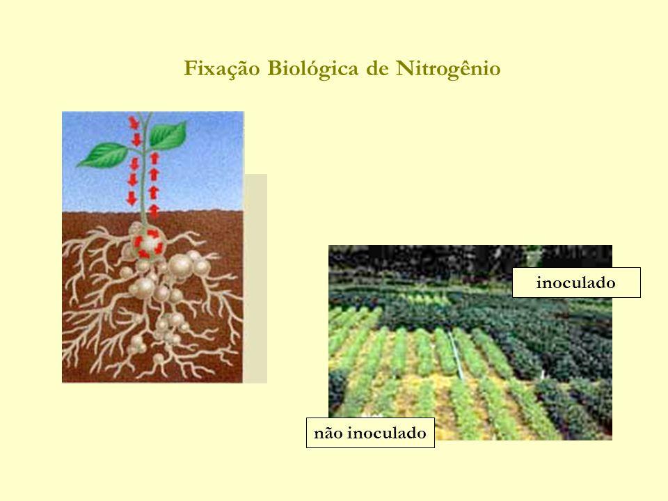 Fixação Biológica de Nitrogênio inoculado não inoculado