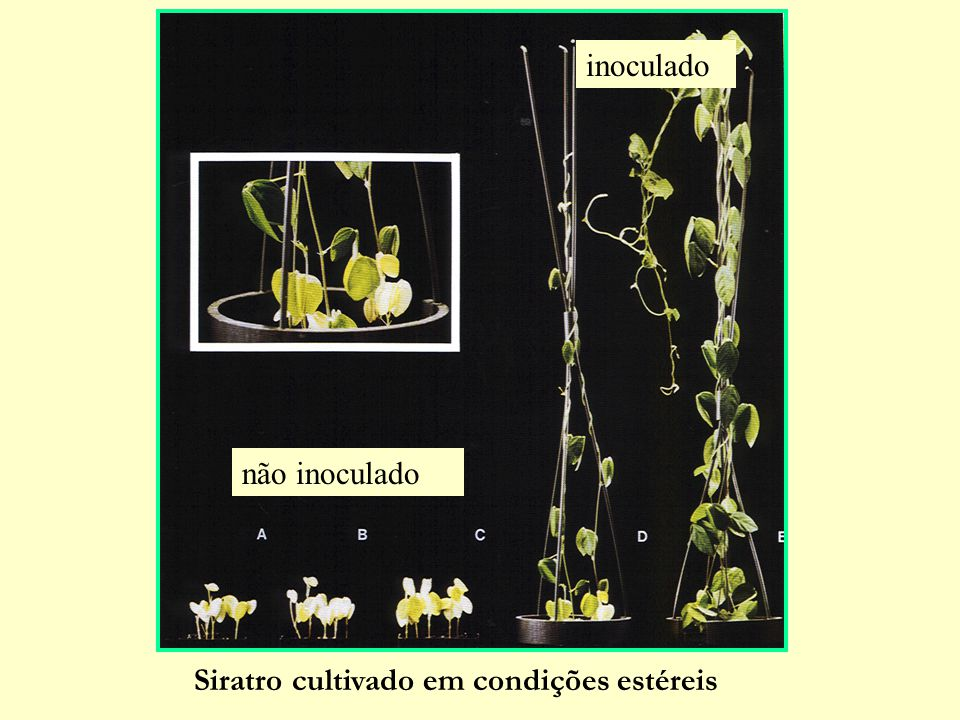 Siratro cultivado em condições estéreis não inoculado inoculado