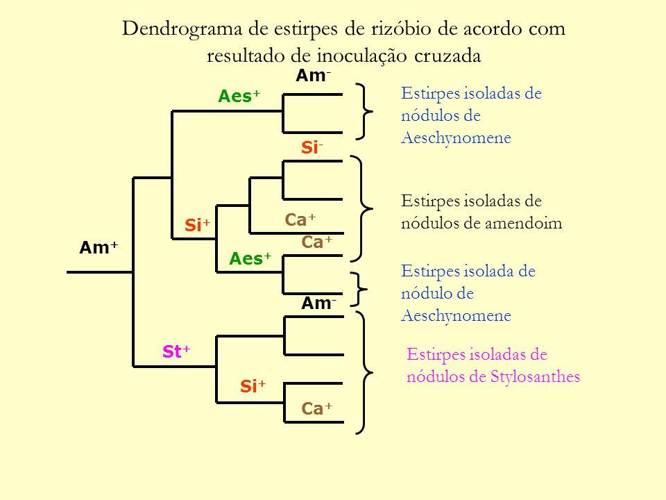 St + Am + Am - Si - Si + Aes + Ca + Estirpes isoladas de nódulos de amendoim Estirpes isoladas de nódulos de Aeschynomene Estirpes isolada de nódulo de Aeschynomene Estirpes isoladas de nódulos de Stylosanthes Dendrograma de estirpes de rizóbio de acordo com resultado de inoculação cruzada
