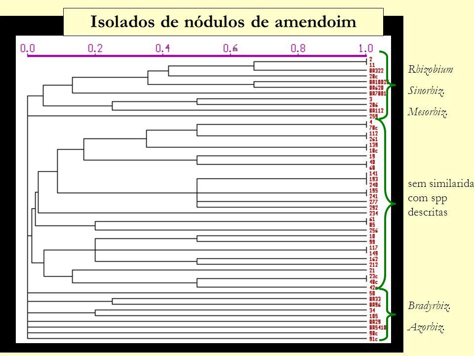 Rhizobium Sinorhiz.Mesorhiz. sem similaridade com spp descritas Bradyrhiz.