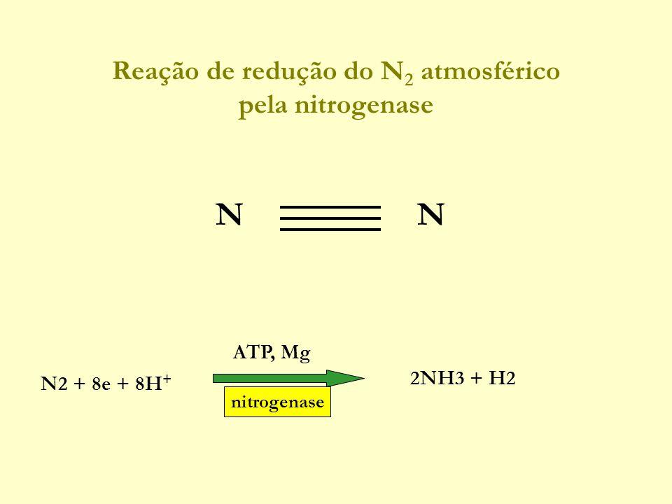 Reação de redução do N 2 atmosférico pela nitrogenase N ATP, Mg 2NH3 + H2 N2 + 8e + 8H + nitrogenase