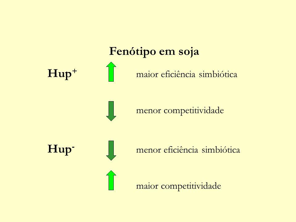 Fenótipo em soja Hup + maior eficiência simbiótica menor competitividade Hup - menor eficiência simbiótica maior competitividade