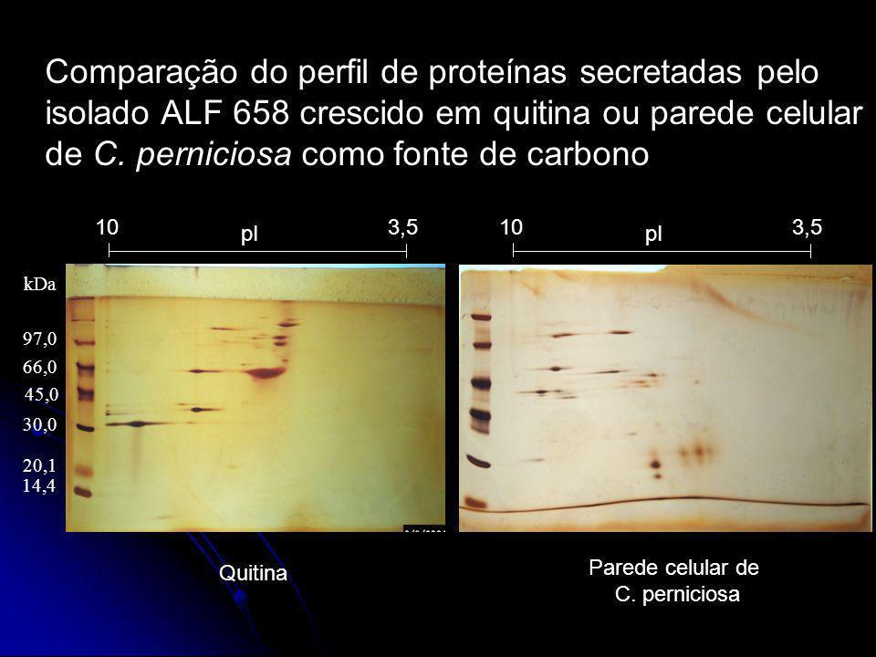 Quitina pI 3,510 Parede celular de C. perniciosa pI 3,510 Comparação do perfil de proteínas secretadas pelo isolado ALF 658 crescido em quitina ou par