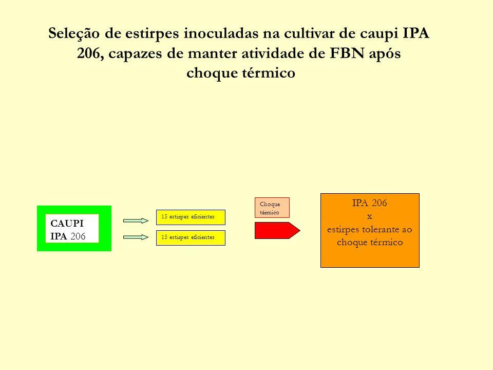 CAUPI IPA 206 Seleção de estirpes inoculadas na cultivar de caupi IPA 206, capazes de manter atividade de FBN após choque térmico 15 estirpes eficient