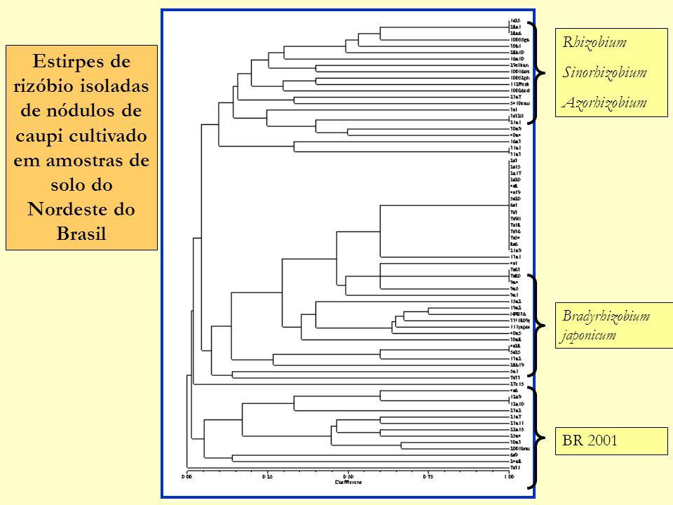 Estirpes de rizóbio isoladas de nódulos de caupi cultivado em amostras de solo do Nordeste do Brasil Bradyrhizobium japonicum BR 2001 Rhizobium Sinorh