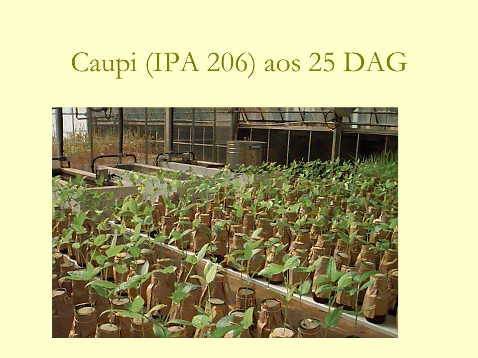 Caupi (IPA 206) aos 25 DAG