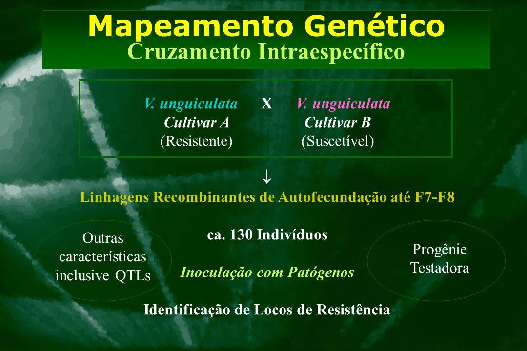 Mapeamento Genético Cruzamento Intraespecífico V. unguiculata X V. unguiculata Cultivar A Cultivar B (Resistente) (Suscetível)  Linhagens Recombinant