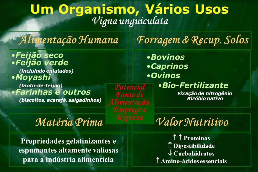 Um Organismo, Vários Usos Vigna unguiculata Alimentação Humana Feijão seco Feijão verde (incluindo enlatados) Moyashi (broto-de-feijão) Farinhas e out
