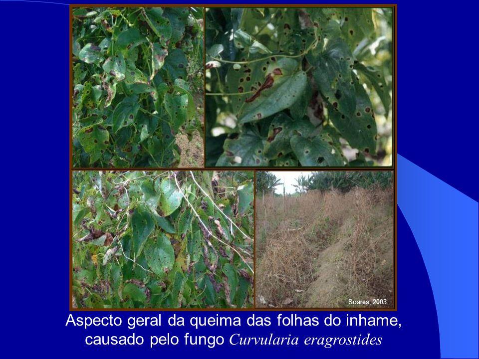 Aspecto geral da queima das folhas do inhame, causado pelo fungo Curvularia eragrostides Soares, 2003