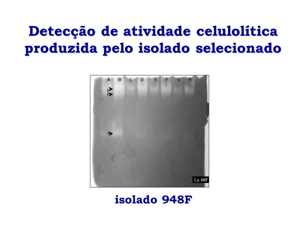 Detecção de atividade celulolítica produzida pelo isolado selecionado σ ρ µ ABCDEFGH isolado 948F