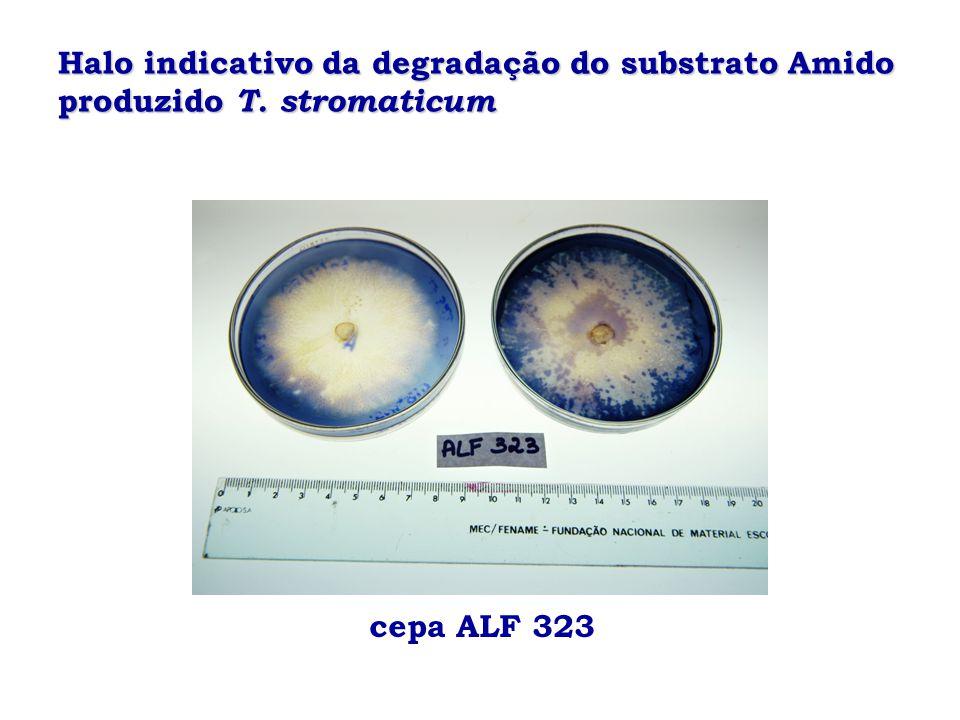 Halo indicativo da degradação do substrato Amido produzido T. stromaticum cepa ALF 323