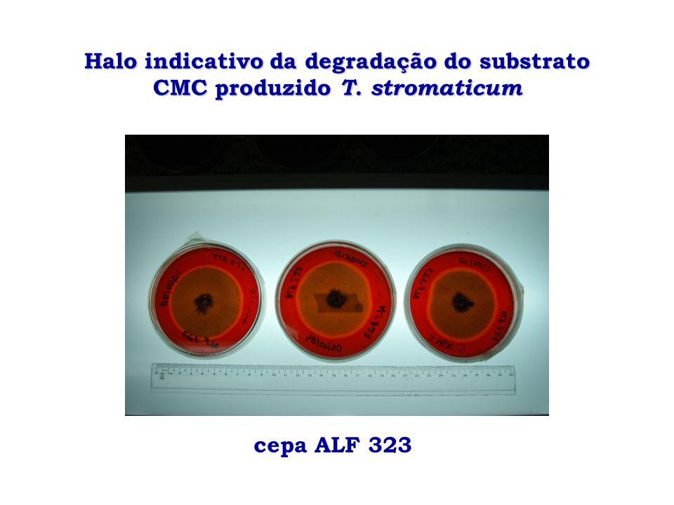 Halo indicativo da degradação do substrato CMC produzido T. stromaticum cepa ALF 323