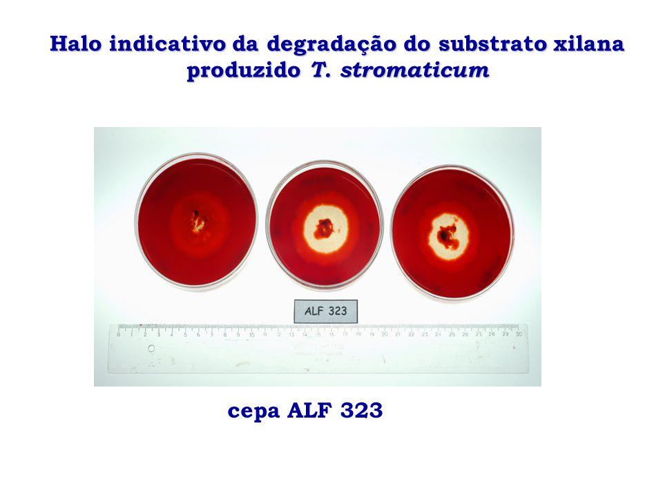 Halo indicativo da degradação do substrato xilana produzido T. stromaticum cepa ALF 323