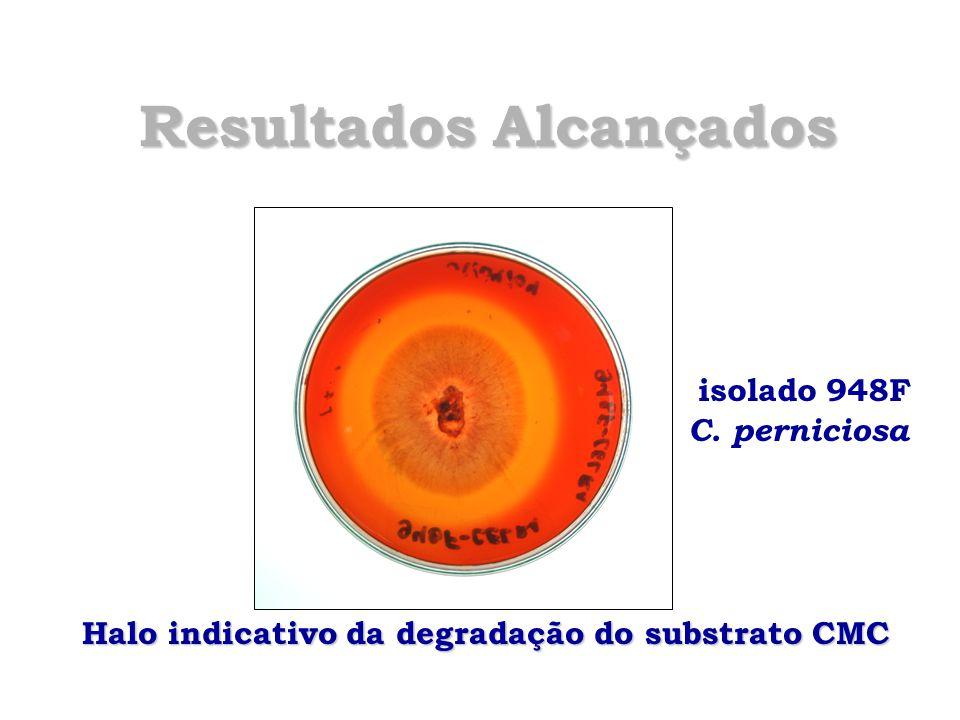 Resultados Alcançados isolado 948F C. perniciosa Halo indicativo da degradação do substrato CMC