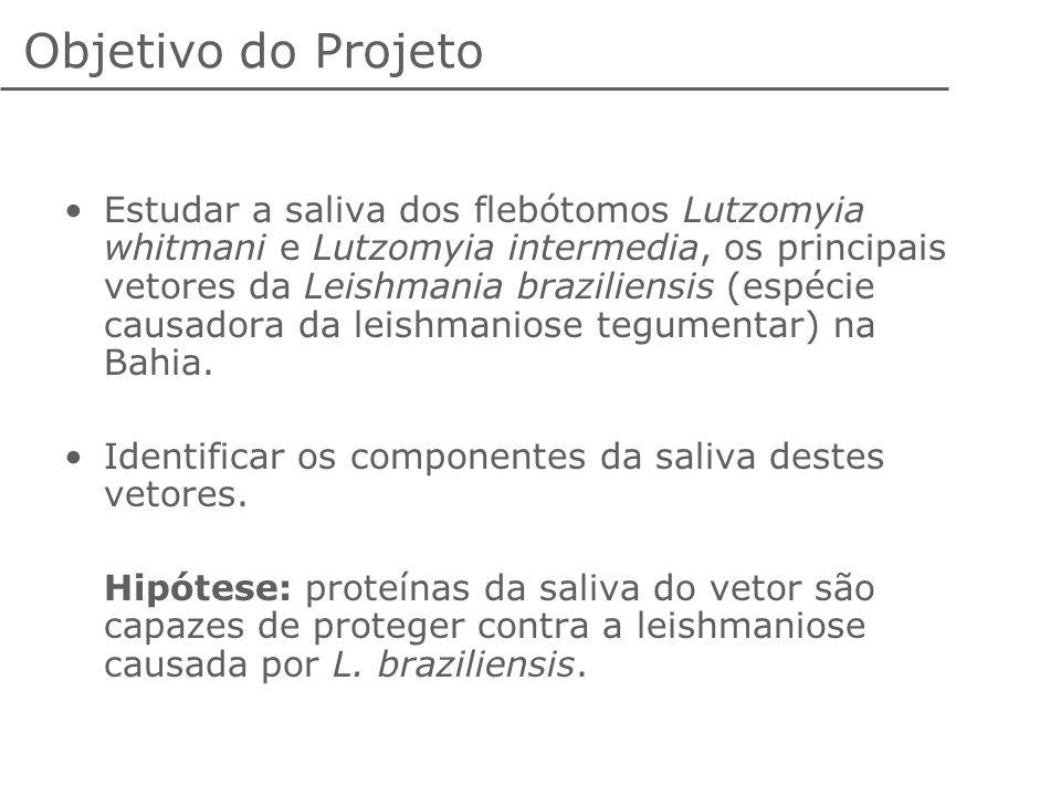 Objetivo do Projeto Estudar a saliva dos flebótomos Lutzomyia whitmani e Lutzomyia intermedia, os principais vetores da Leishmania braziliensis (espéc