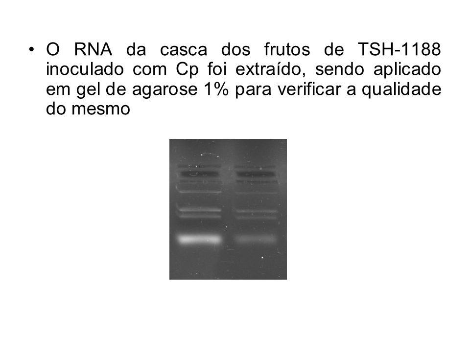 O RNA da casca dos frutos de TSH-1188 inoculado com Cp foi extraído, sendo aplicado em gel de agarose 1% para verificar a qualidade do mesmo