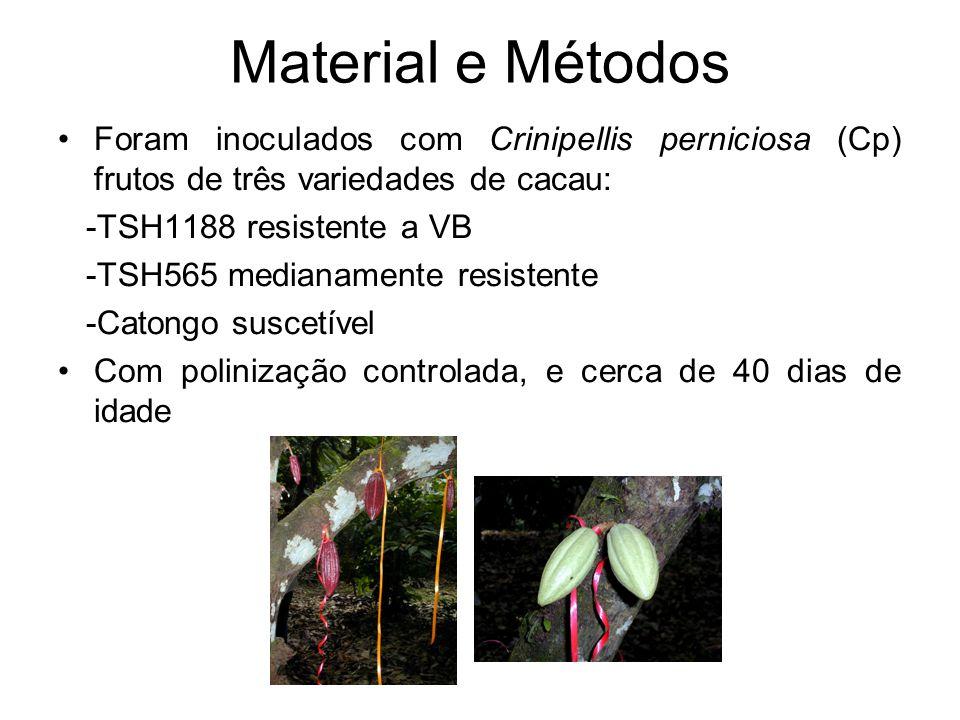 Material e Métodos Foram inoculados com Crinipellis perniciosa (Cp) frutos de três variedades de cacau: -TSH1188 resistente a VB -TSH565 medianamente resistente -Catongo suscetível Com polinização controlada, e cerca de 40 dias de idade