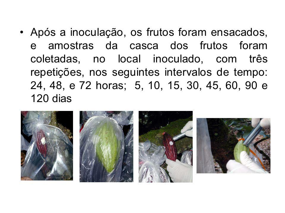 Após a inoculação, os frutos foram ensacados, e amostras da casca dos frutos foram coletadas, no local inoculado, com três repetições, nos seguintes i