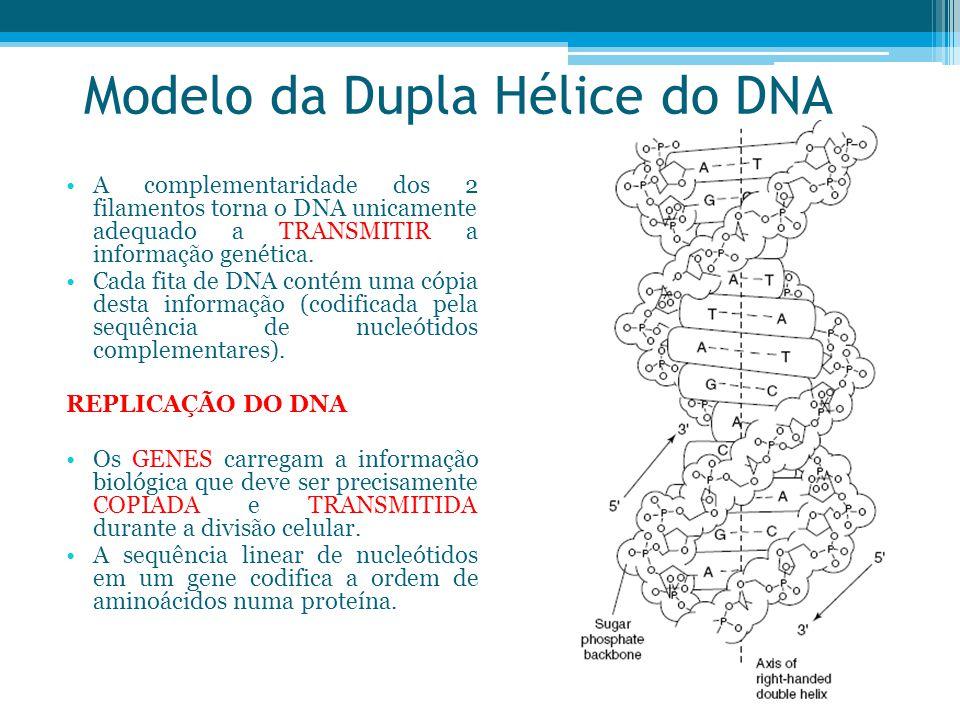 Modelo da Dupla Hélice do DNA A complementaridade dos 2 filamentos torna o DNA unicamente adequado a TRANSMITIR a informação genética. Cada fita de DN