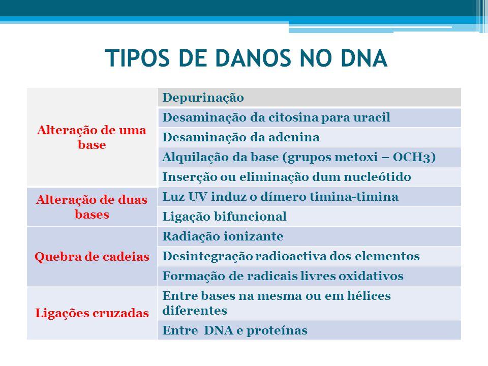 TIPOS DE DANOS NO DNA Alteração de uma base Depurinação Desaminação da citosina para uracil Desaminação da adenina Alquilação da base (grupos metoxi – OCH3) Inserção ou eliminação dum nucleótido Alteração de duas bases Luz UV induz o dímero timina-timina Ligação bifuncional Quebra de cadeias Radiação ionizante Desintegração radioactiva dos elementos Formação de radicais livres oxidativos Ligações cruzadas Entre bases na mesma ou em hélices diferentes Entre DNA e proteínas