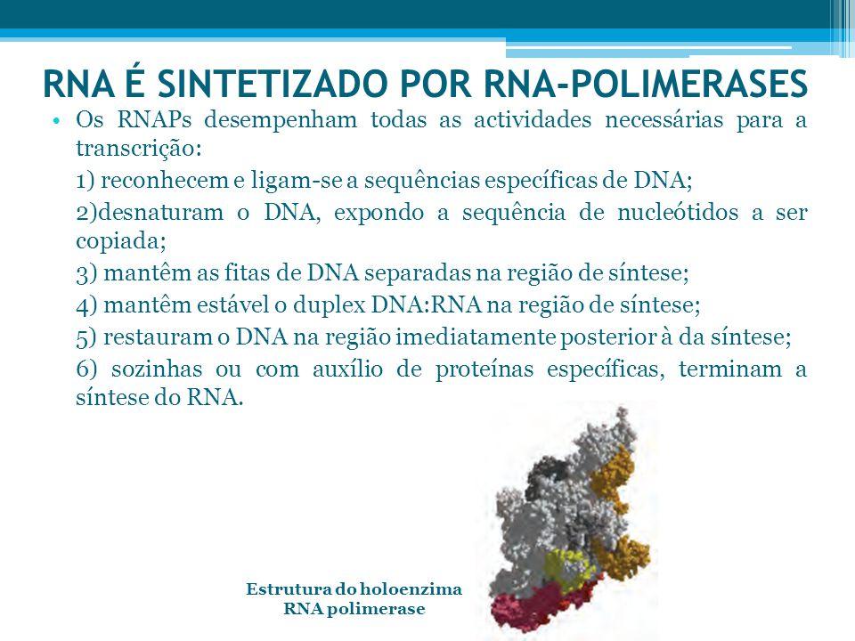 RNA É SINTETIZADO POR RNA-POLIMERASES Os RNAPs desempenham todas as actividades necessárias para a transcrição: 1) reconhecem e ligam-se a sequências específicas de DNA; 2)desnaturam o DNA, expondo a sequência de nucleótidos a ser copiada; 3) mantêm as fitas de DNA separadas na região de síntese; 4) mantêm estável o duplex DNA:RNA na região de síntese; 5) restauram o DNA na região imediatamente posterior à da síntese; 6) sozinhas ou com auxílio de proteínas específicas, terminam a síntese do RNA.
