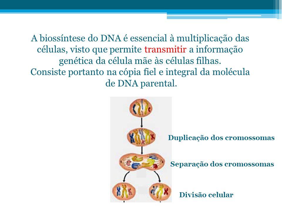 A biossíntese do DNA é essencial à multiplicação das células, visto que permite transmitir a informação genética da célula mãe às células filhas. Cons