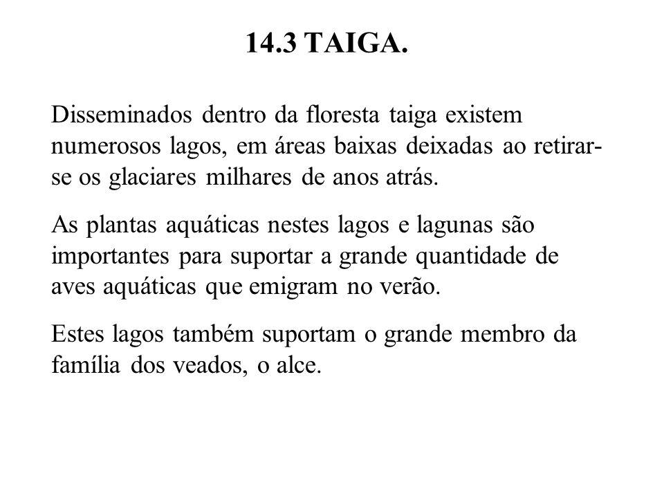 14.3 TAIGA. Disseminados dentro da floresta taiga existem numerosos lagos, em áreas baixas deixadas ao retirar- se os glaciares milhares de anos atrás