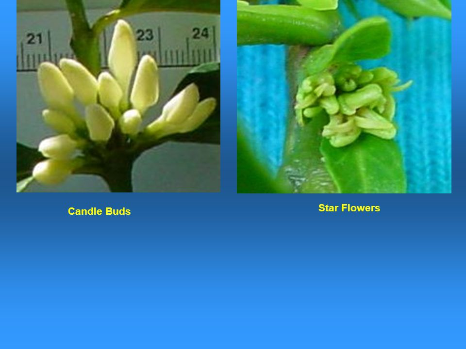 Star Flowers Candle Buds