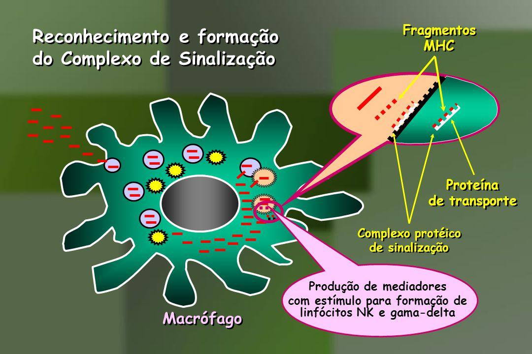Macrófago Reconhecimento e formação do Complexo de Sinalização Reconhecimento e formação do Complexo de Sinalização Fragmentos MHC Fragmentos MHC Proteína de transporte Proteína de transporte Complexo protéico de sinalização Complexo protéico de sinalização Produção de mediadores com estímulo para formação de linfócitos NK e gama-delta