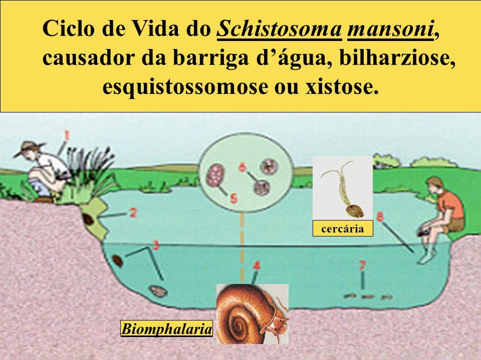 Ciclo de Vida do Schistosoma mansoni, causador da barriga d'água, bilharziose, esquistossomose ou xistose. Biomphalaria cercária