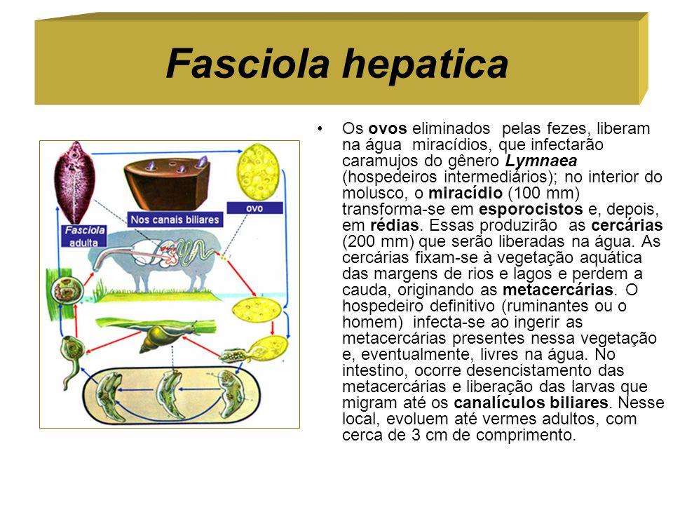 Fasciola hepatica Os ovos eliminados pelas fezes, liberam na água miracídios, que infectarão caramujos do gênero Lymnaea (hospedeiros intermediários);