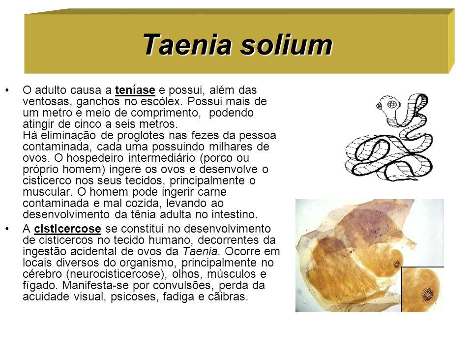 Taenia solium O adulto causa a teníase e possui, além das ventosas, ganchos no escólex. Possui mais de um metro e meio de comprimento, podendo atingir
