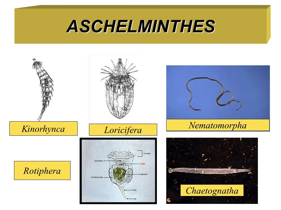 ASCHELMINTHES Kinorhynca Loricifera Nematomorpha Rotiphera Chaetognatha