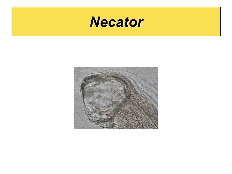 Necator