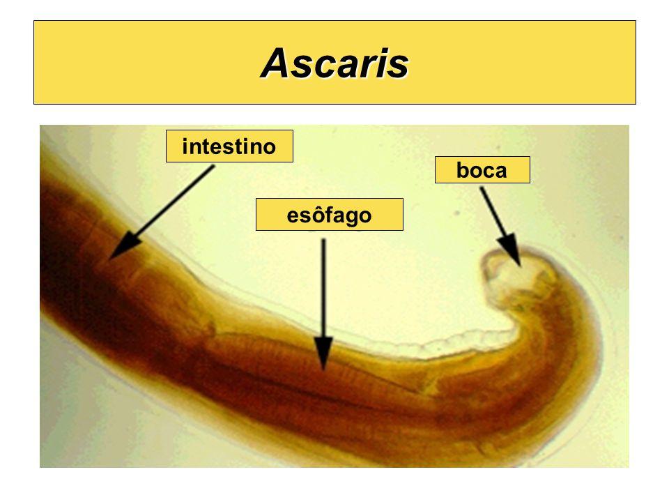 Ascaris boca esôfago intestino