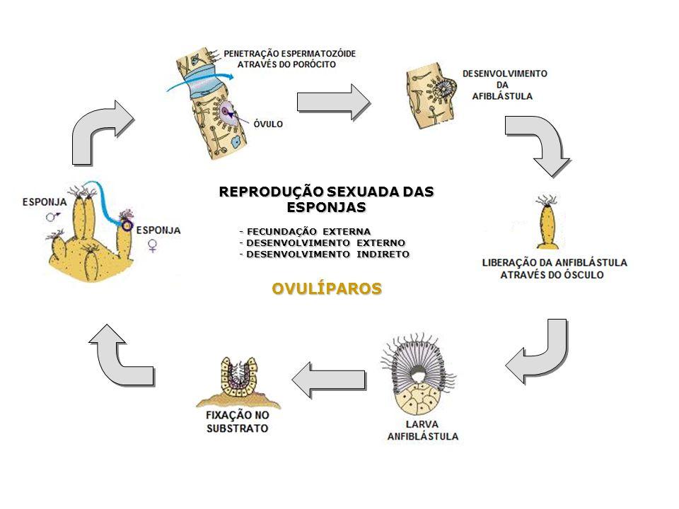 REPRODUÇÃO SEXUADA DAS ESPONJAS - FECUNDAÇÃO EXTERNA - DESENVOLVIMENTO EXTERNO - DESENVOLVIMENTO INDIRETO OVULÍPAROS