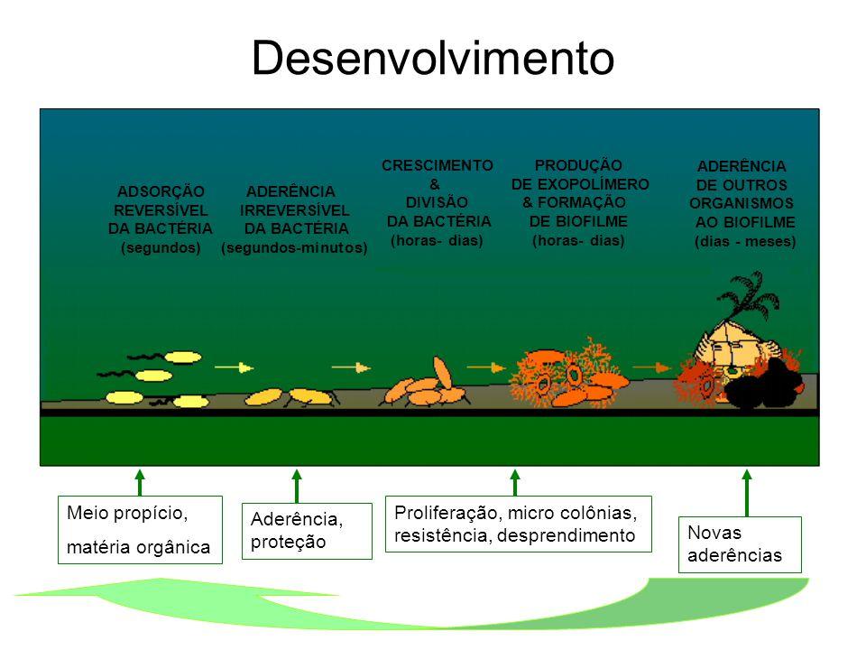 Desenvolvimento ADSORÇÃO REVERSÍVEL DA BACTÉRIA (segundos) ADERÊNCIA IRREVERSÍVEL DA BACTÉRIA (segundos-minutos) CRESCIMENTO & DIVISÃO DA BACTÉRIA (ho